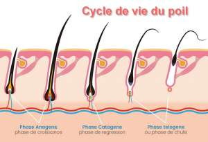 Le cycle du poil
